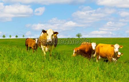vaca en un pasto verde