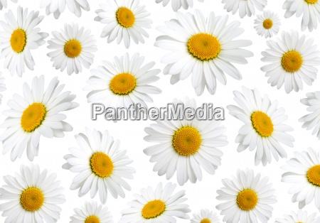 flores de manzanilla de textura sobre
