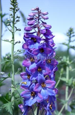 flor de delphinium en el jardin