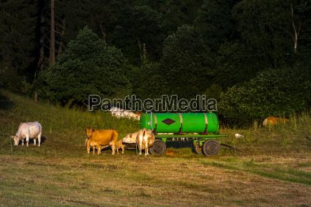 rebanyo de vacas en el pasto