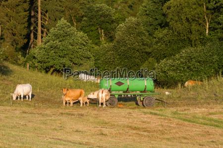 animal los animales actitud la ganaderia