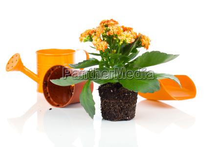 la flor del kalanchoe en una