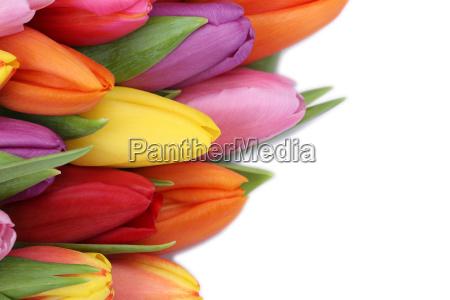 flores de tulipanes en primavera o