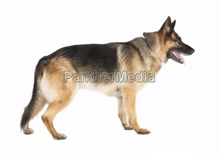 schaeferhund de pie desde el costado