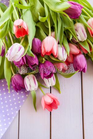 tulipanes coloridos en purpura