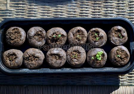 plantulas catnip en vainas