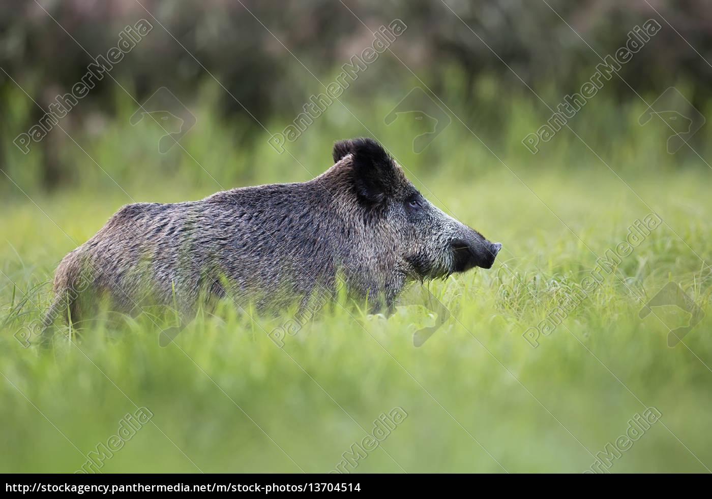 wild, boar, in, the, wild, , in - 13704514