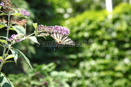 animal butterfly nectar moth plant nature