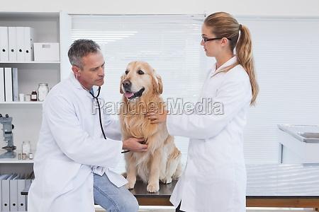medicos revisando un labrador