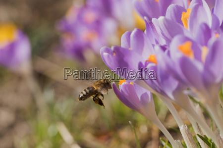 insecto flor planta azafran primavera purpura