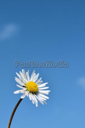 daisy y el cielo azul en