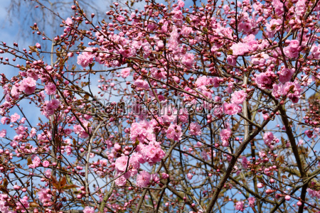 flores primavera sangrar rosa
