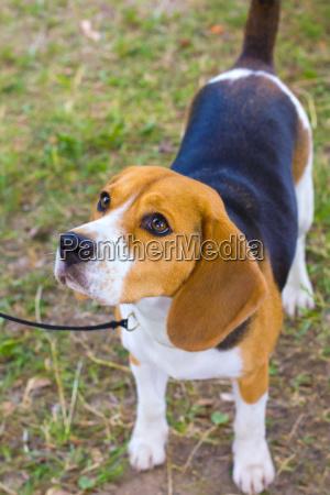 perro de raza beagle en la