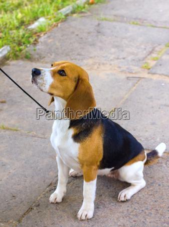 raza beagle perro se sienta en