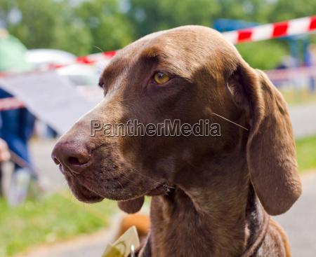 primer plano retrato del perro deutsch