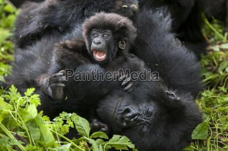 los gorilas de montanya en la