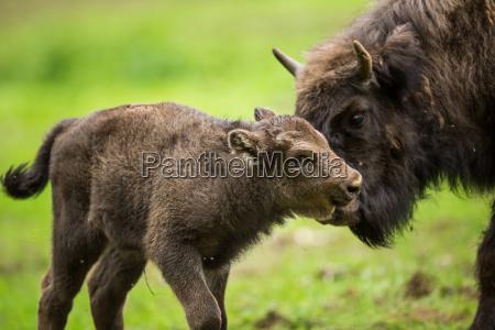 bisonte europeo bison bonasus
