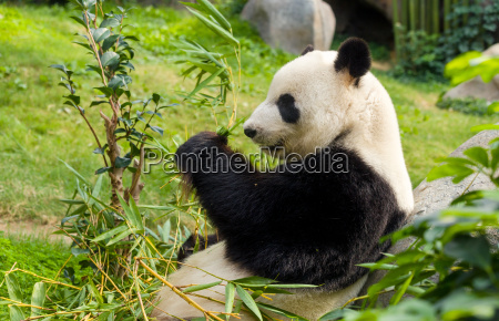 oso panda gigante hambriento comiendo bambu