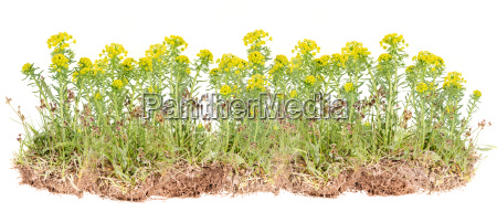 flor planta salvaje