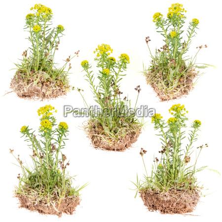 flor amarilla salvaje