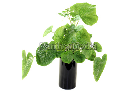 green wasabi leaves with flowers
