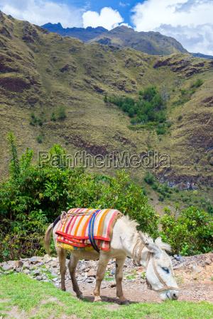donkey in the cordillera blanca in