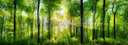 waldpanorama con rayos del sol