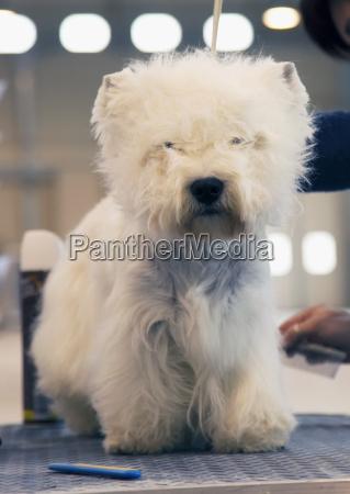 white highlands terrier