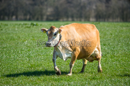 jersey cow on grass