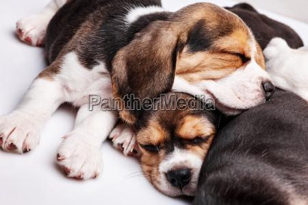 beagle puppies resbalando frente al fondo