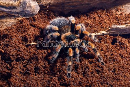 tarantula rojo mexicano de la rodilla