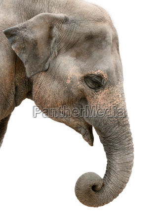 animal mamifero asia africa elefante india