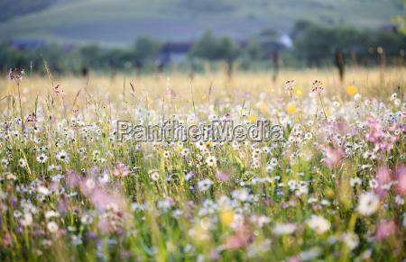 prado de verano lleno de margaritas