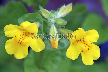 macro amarillo gauklerflower mimulus luteus