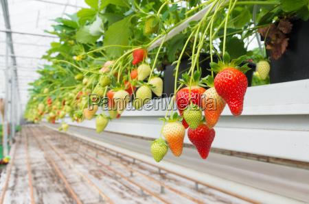 granja de fresa