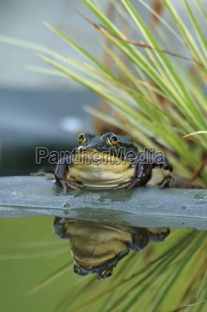 rana biotopo de agua dulce estanque