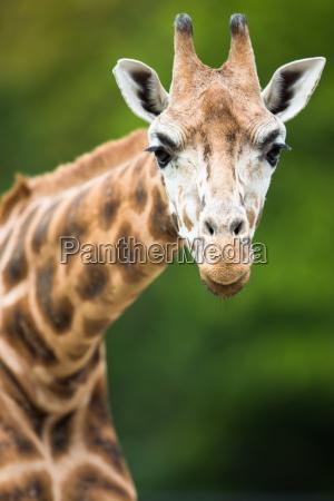 enorme parque animal safari jirafa alto