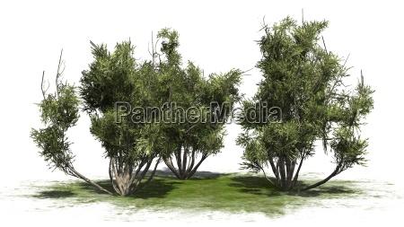 arbusto de olivo africano sobre