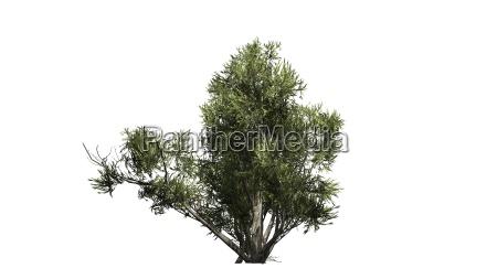 arbol arbusto oliva africano palido planta