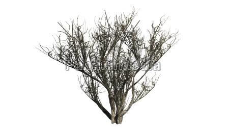 arbol invierno arbusto oliva africano palido