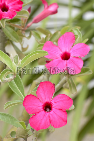 desert rose is a bright colored