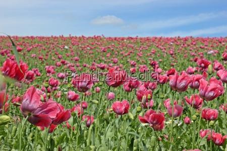 amapola rojo rosa