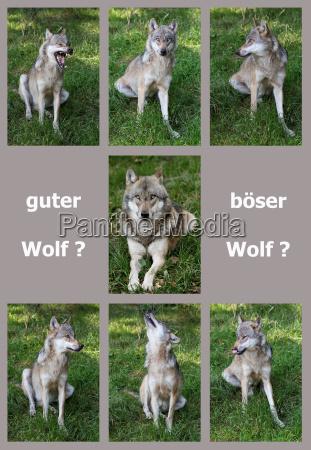 lobo lobo lobo malvado