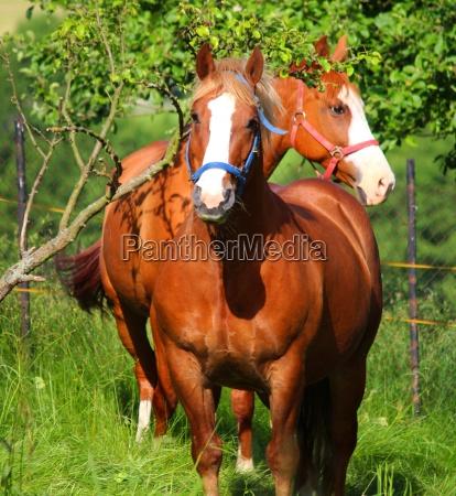 caballo ganado