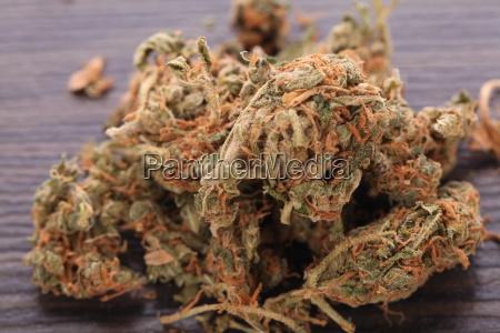 la marihuana cannabis florece en una