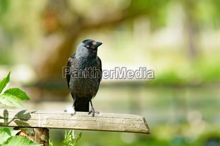 grajilla occidental corvus monedula