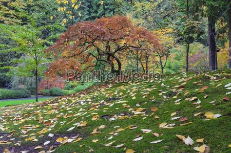 japanese maple tree during fall season
