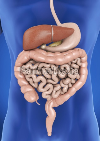 the digestive organs of man