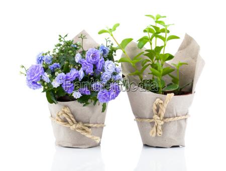 bellflowers campanula flores en el paquete
