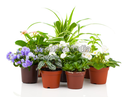 plantas jovenes en maceta bellflowers saintpaulia